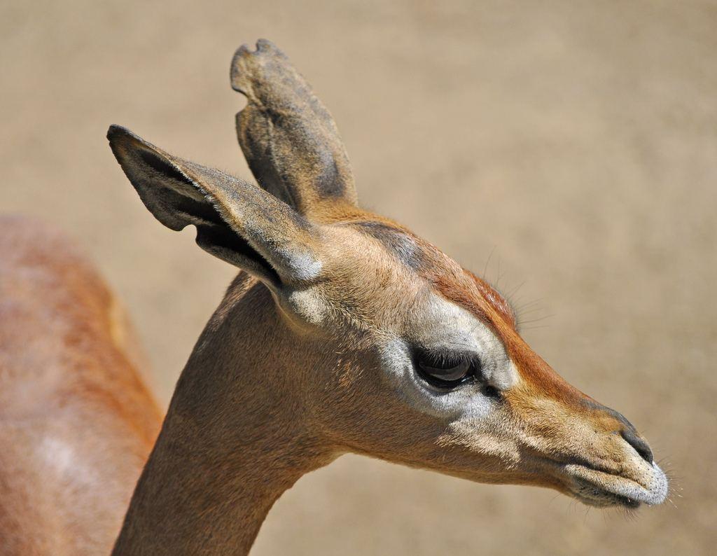 Геренук, или жирафовая газель (лат. Litocranius walleri)
