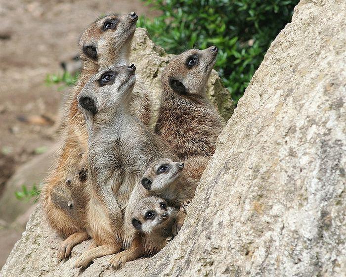 Интересные факты о сурикатах (лат. Suricata suricatta)