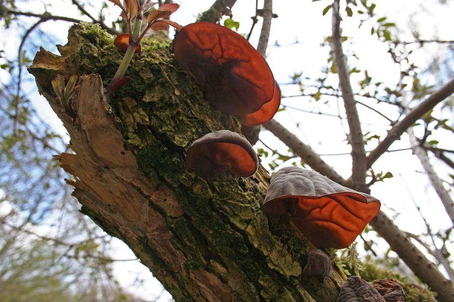 Аурикулярия уховидная, или Иудино ухо (лат. Auricularia auricula-judae)