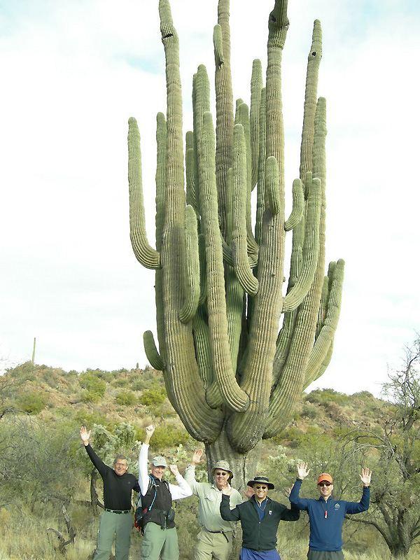 Carnegiea gigantea