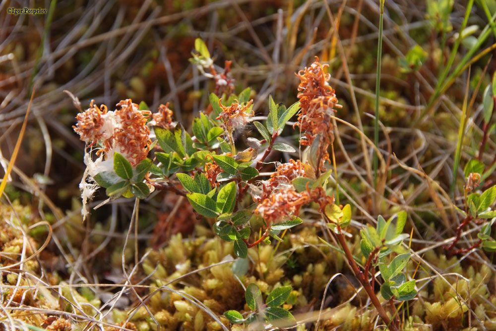 Salix fuscescens