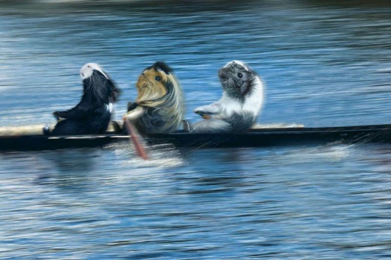 Календарь 'Морские свинки на Олимпийских играх'