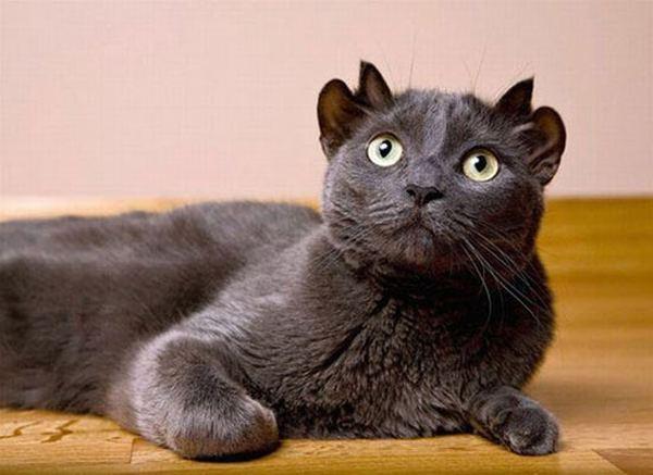Кот у которого уши маленькие