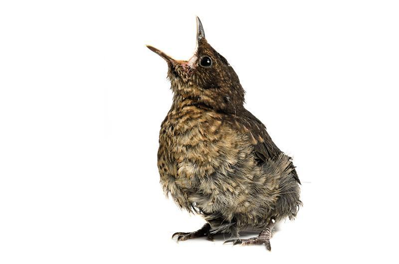 Проект 'Baby birds' Гэвина Парсонс