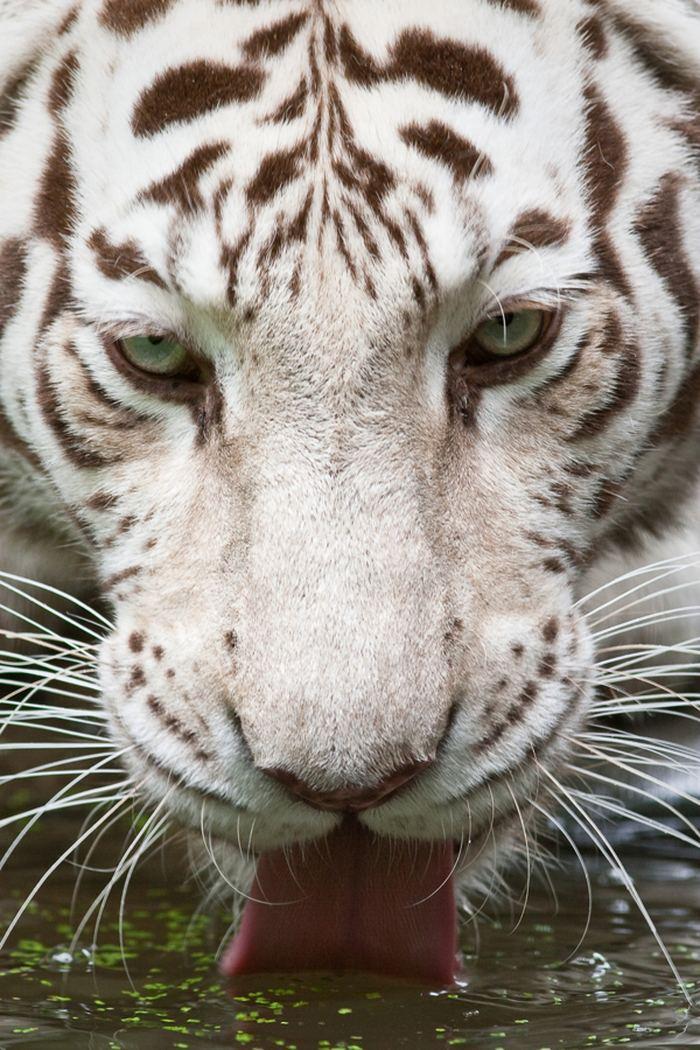 гены окраски кошек реферат: