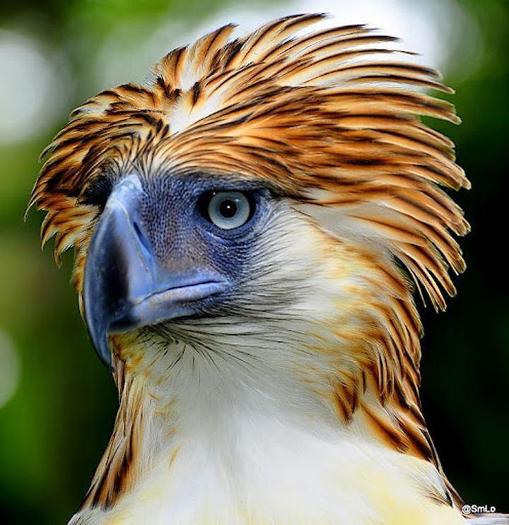 Филиппинский орел (Pithecophaga jefferyi)