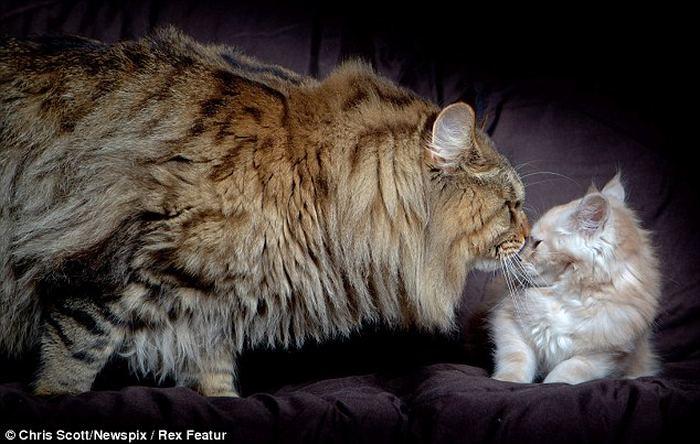 Самым крупным котом в мире стал мейн-кун по кличке Руперт