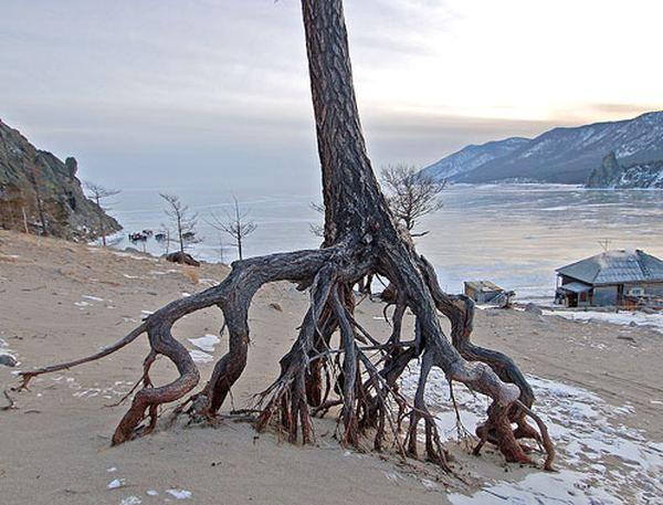 'Шагающие' деревья в бухте Песчаная, Байкал