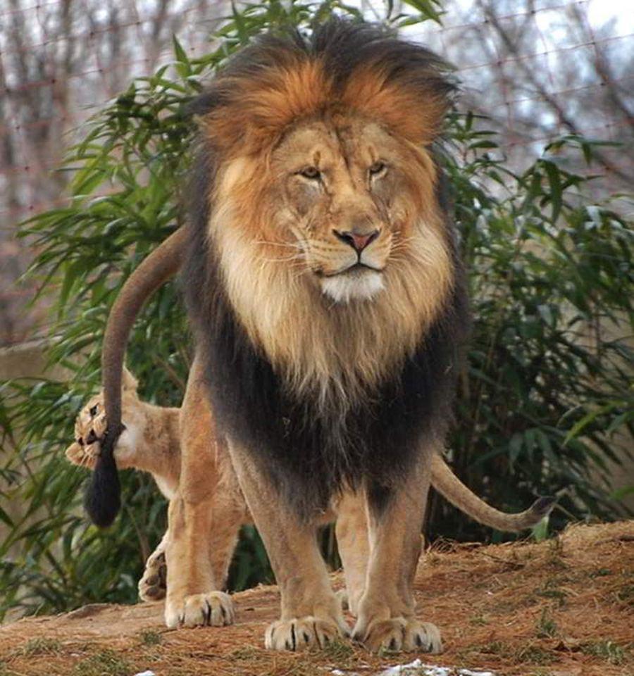 Семейные драмы из жизни царей зверей