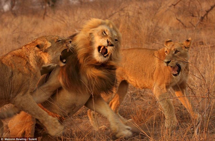 Две львицы напали на явно