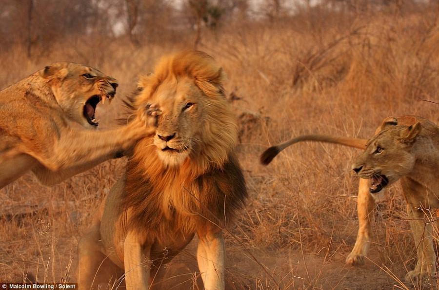 Одна из львиц только что