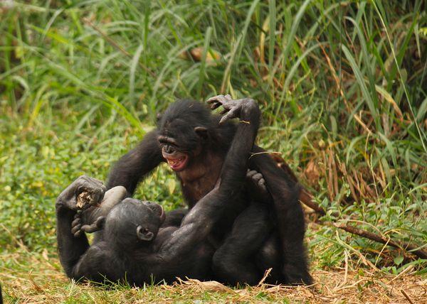 Бонобо занимаются сексом