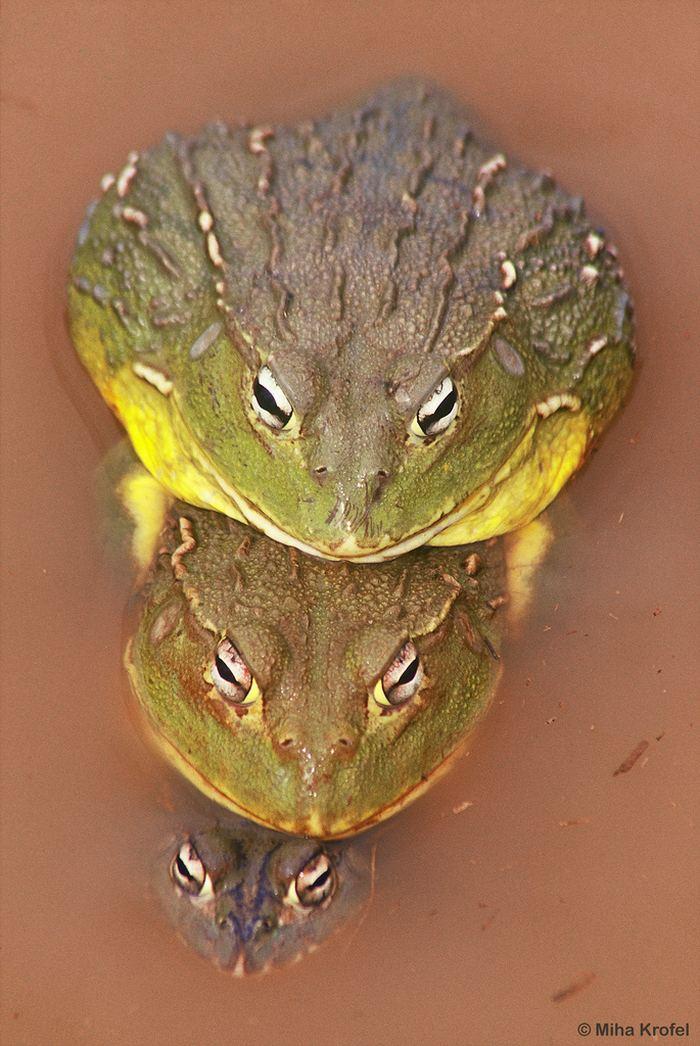 Африканская лягушка-бык (Pyxicephalus adspersus). Энциклопедия ...
