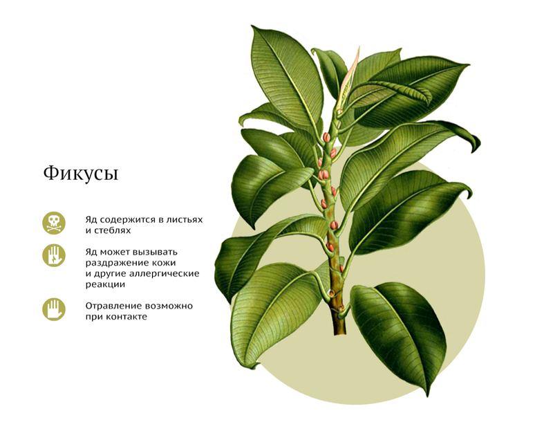 домашние ядовитые растения фото и название