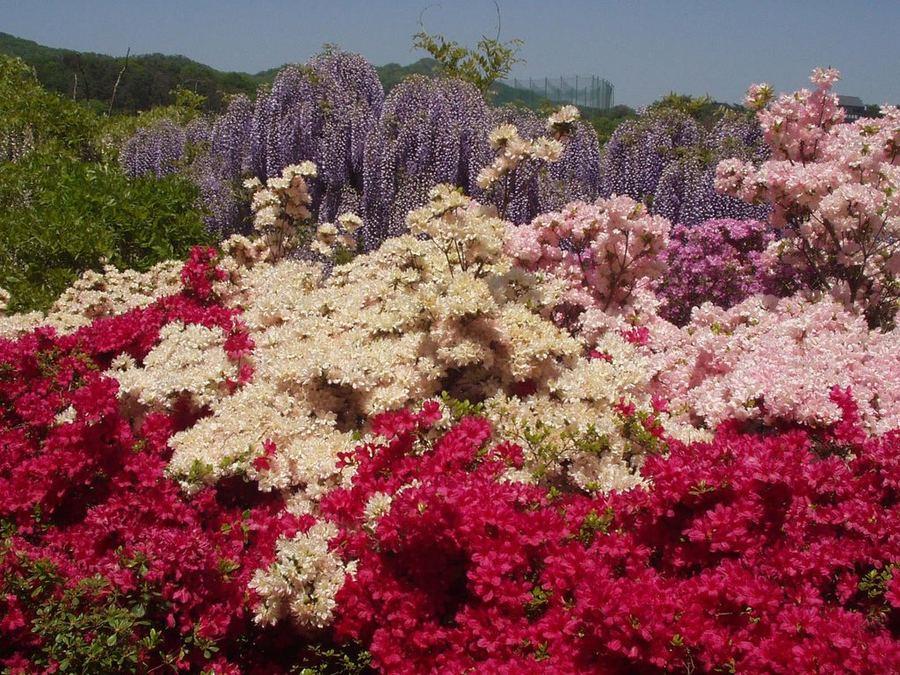 Цветущая вистерия в парке цветов Асикага, Япония