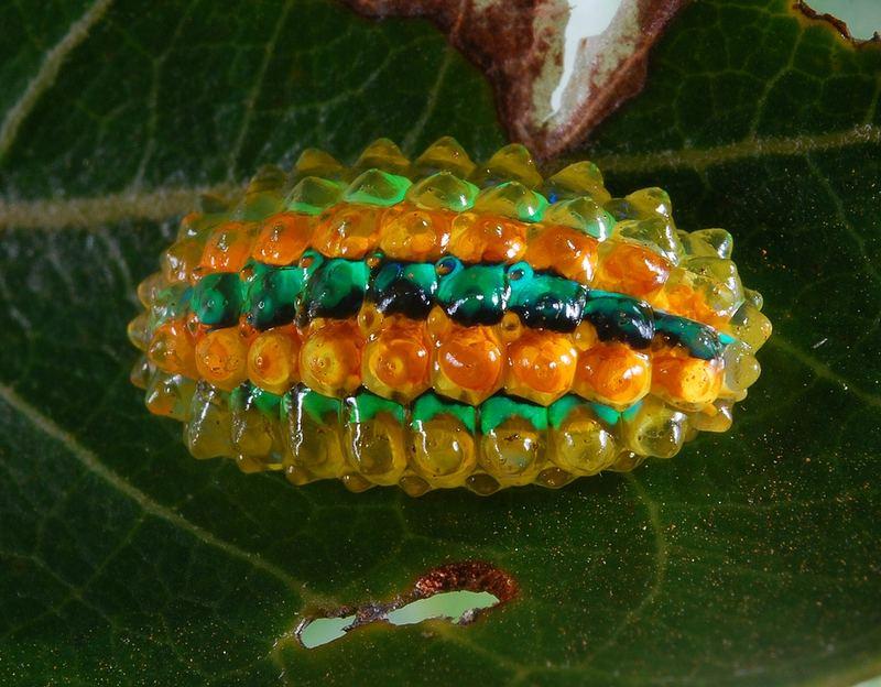 Личинка моли Jewel Caterpillar (Acraga coa)