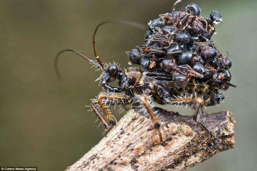 Необычная маскиравка жуков-убийц