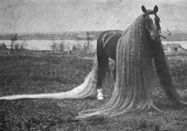 Длинногривый рекордсмен - конь Линус (Linus)