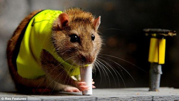 Алло, мы ищем крысиные таланты