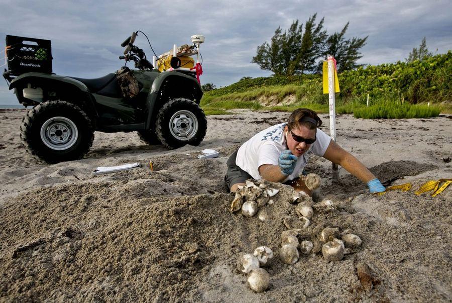 Сезон гнездования морских черепах подошёл к завершению