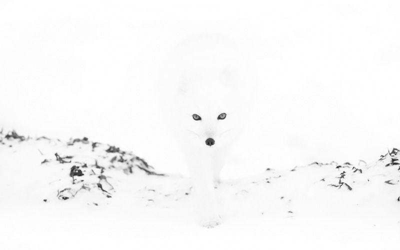 Полярные лисицы в фотографиях Анны Хенли