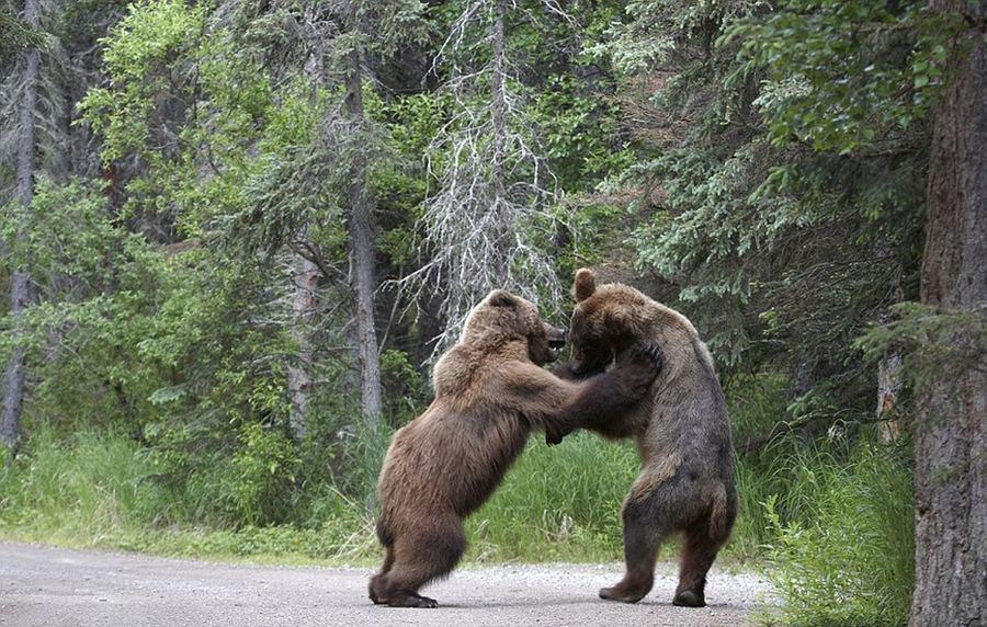рисунки медведя гризли