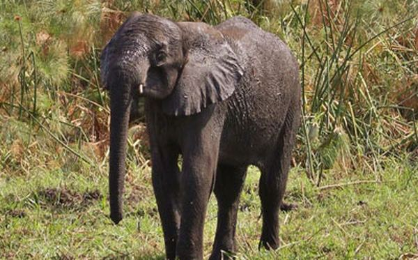 5-летний слоненок по уши увяз в болоте (фото http://www.dailymail.co.uk/)
