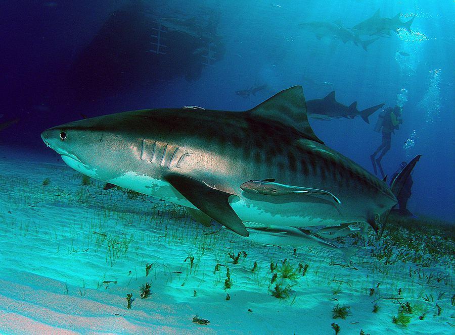 Самые опасные для человека виды акул