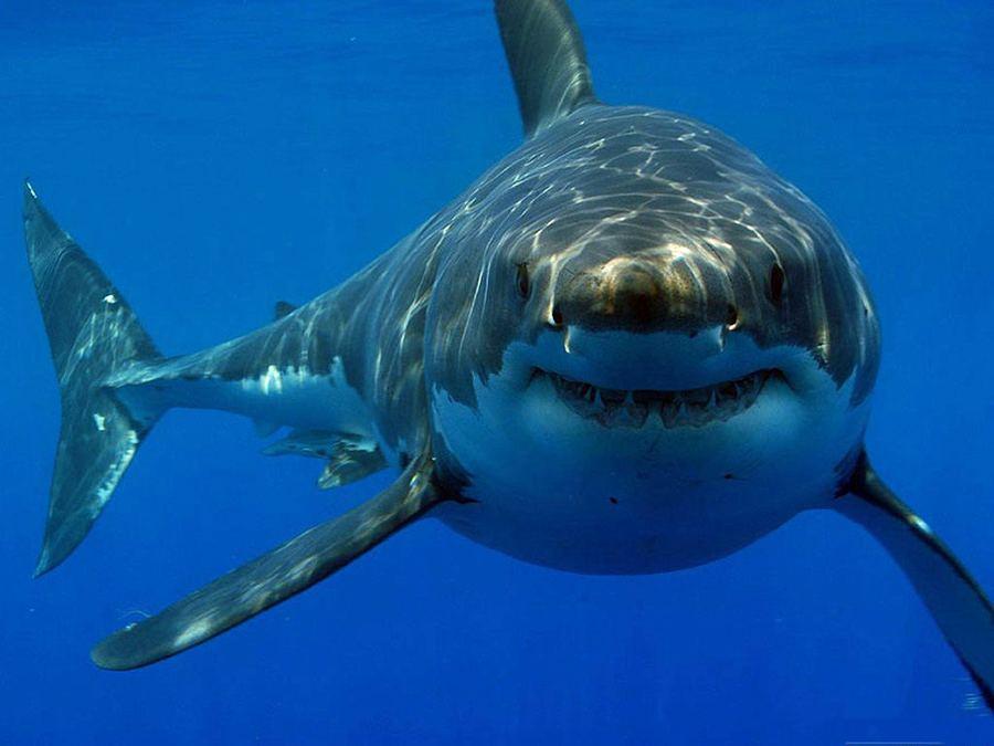 Игры акула на телефоне акула