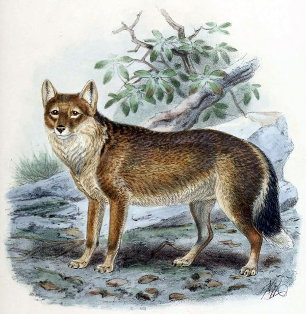 Фолклендская лисица (лат. Dusicyon australis)