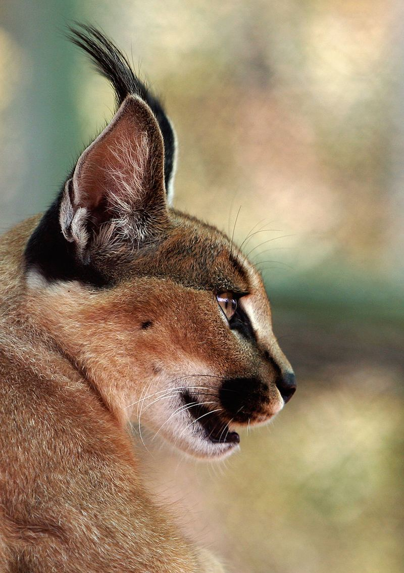 Каракал, или степная рысь (лат. Caracal caracal)