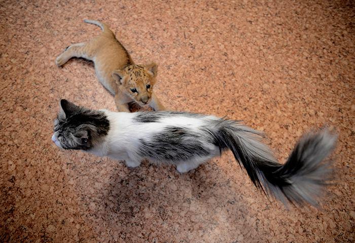 Уникальный котенок лилигр живет в новосибирском зоопарке