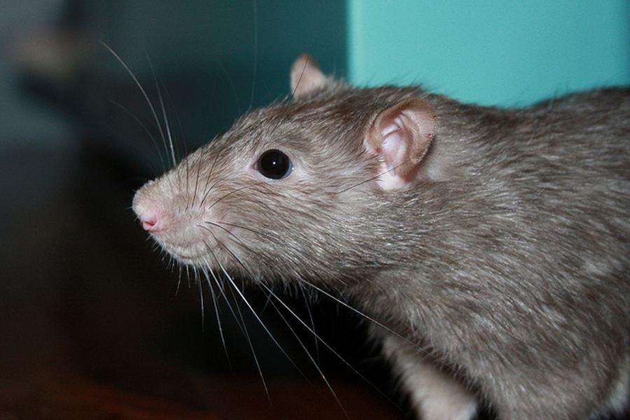 Почему человек боится крыс