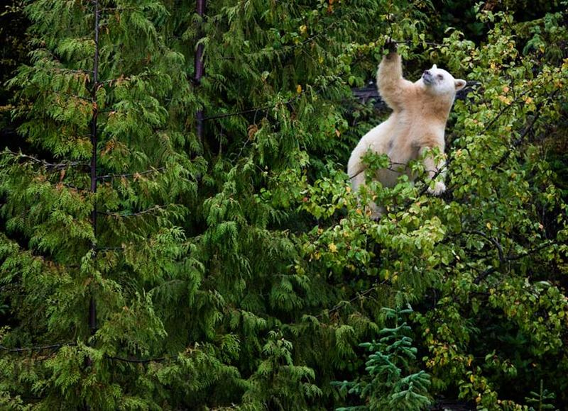 Кермод, или медведь-призрак (лат. Ursus americanus kermodei)
