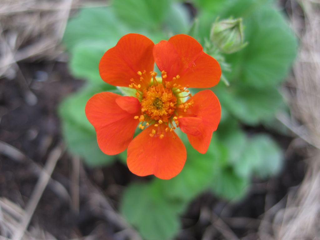 Существует ли на самом деле цветок из сказки Сергея Аксакова?