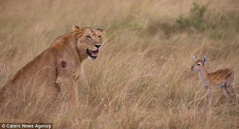 Львица и детёныш импалы