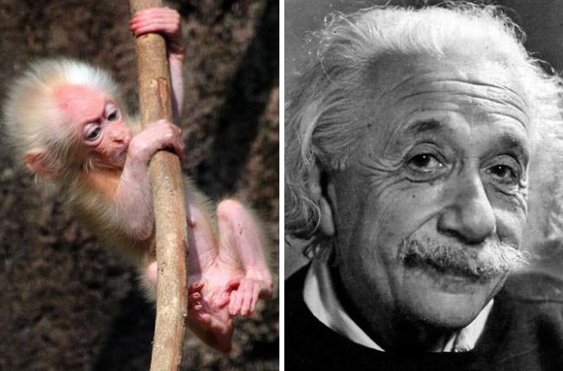Детеныш макаки выглядит, как Альберт Эйнштейн
