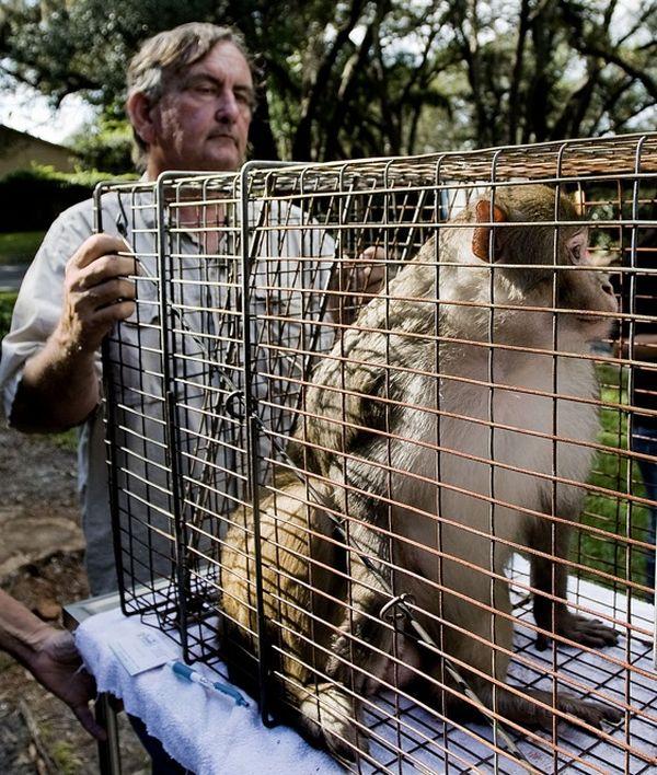 Поймана 'загадочная обезьяна', которая несколько лет провела 'в бегах'