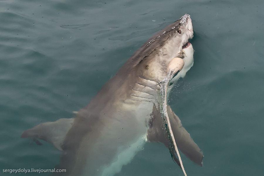 Погружение в клетке к белым акулам