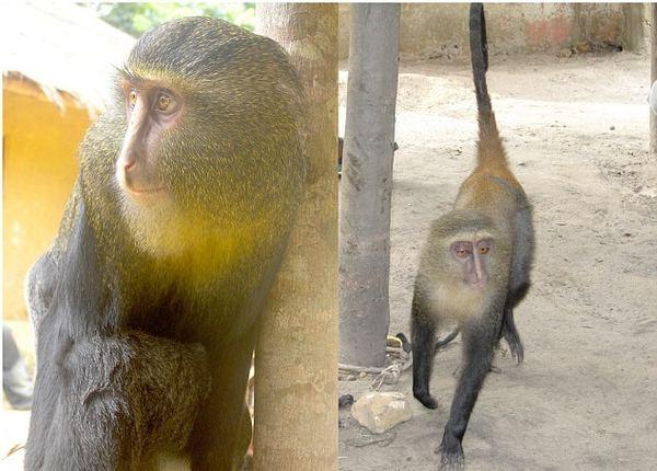 В Африке, впервые за 28 лет, найден новый вид обезьян
