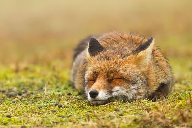 В кадре голландская рыжая лисица
