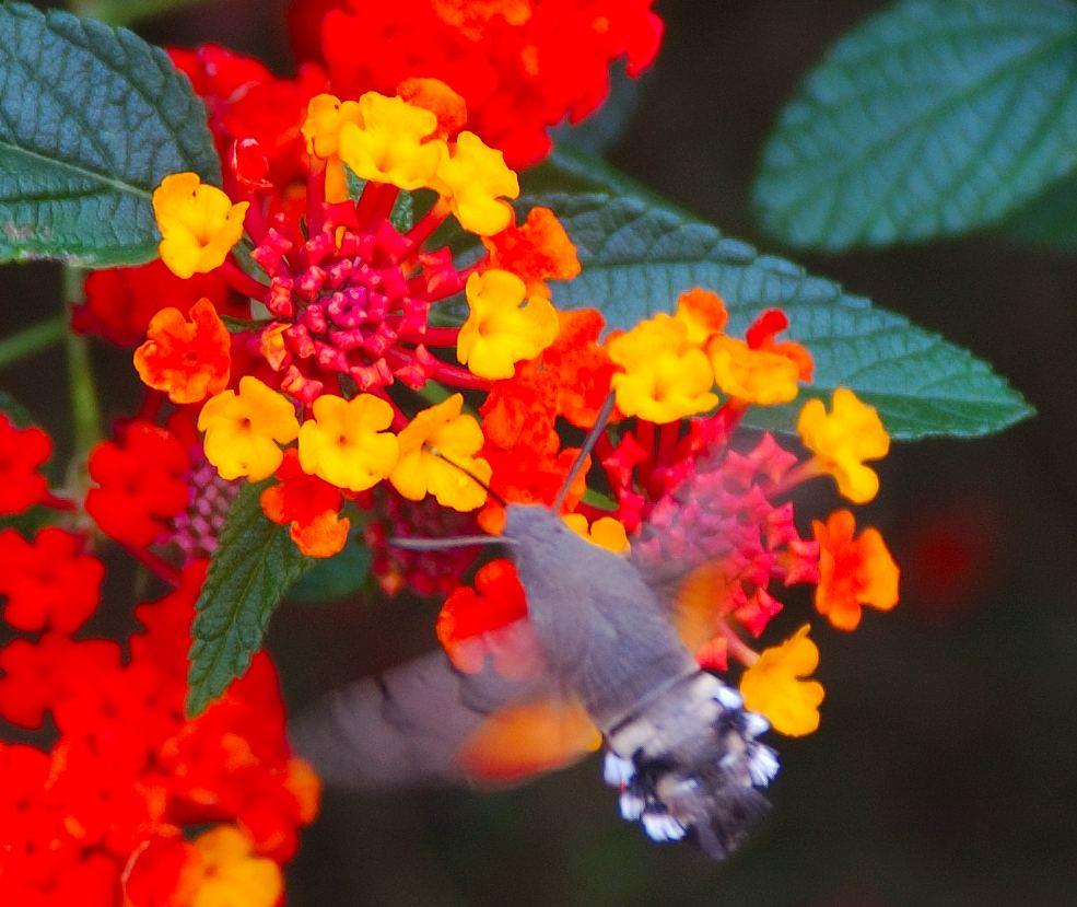 Языкан обыкновенный (Macroglossum stellatarum)