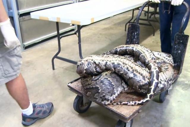 В США поймали самого большого бирманского питона в мире