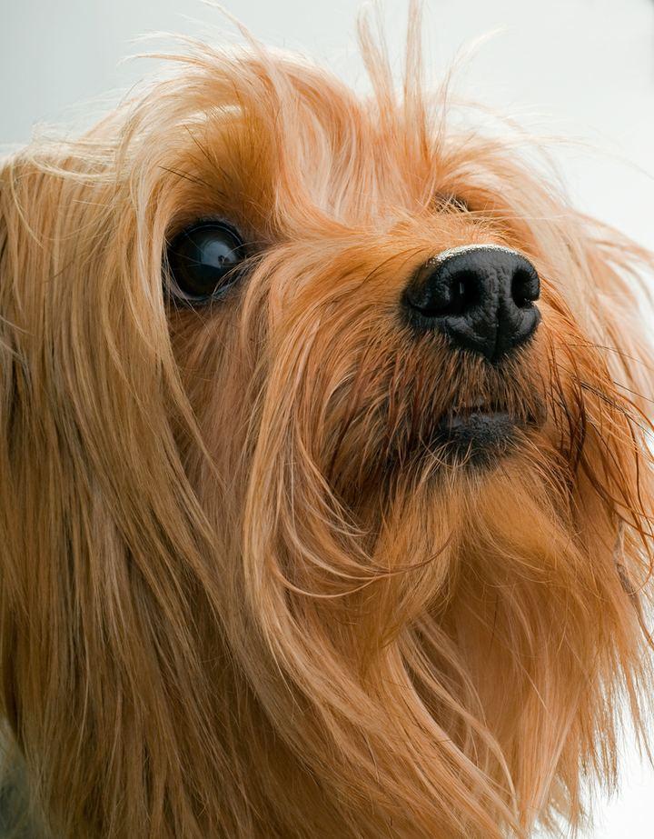 Йоркширский терьер  (англ. Yorkshire terrier) — одна из самых маленьких пород собак