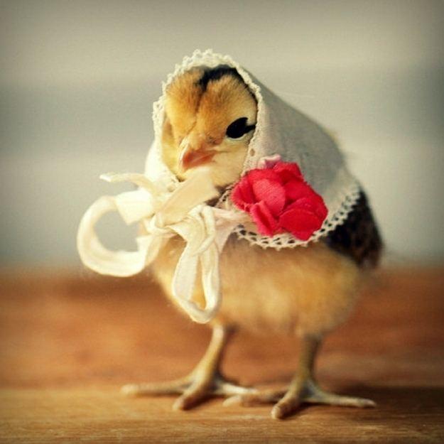 Модный цыпленок
