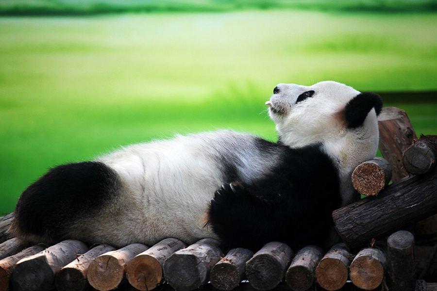 10-летняя панда по кличке Синь Юэ