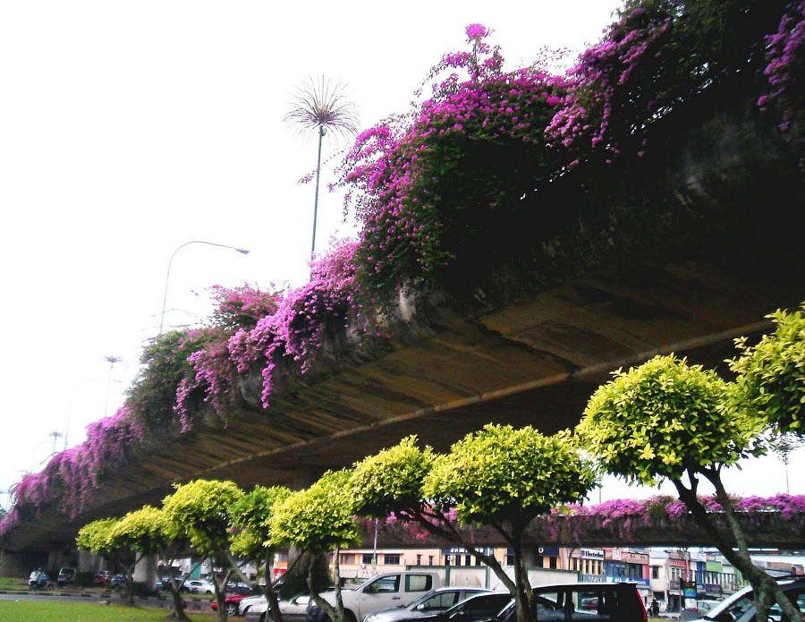 Бугенвиллея (Bougainvillea) - вечнозелёный вьющийся кустарник