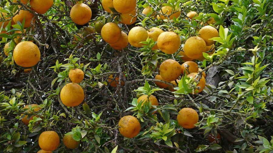 Бергамот, или апельсин-бергамот (Citrus bergamia)
