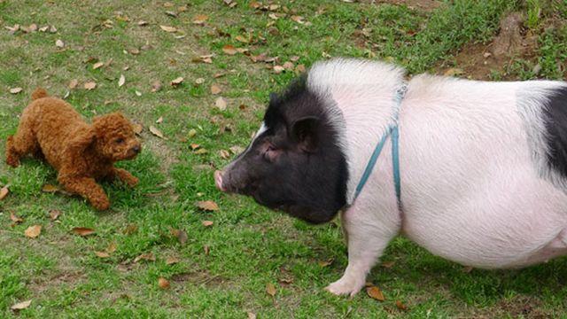 Домашняя свинка по кличке Жу-жу