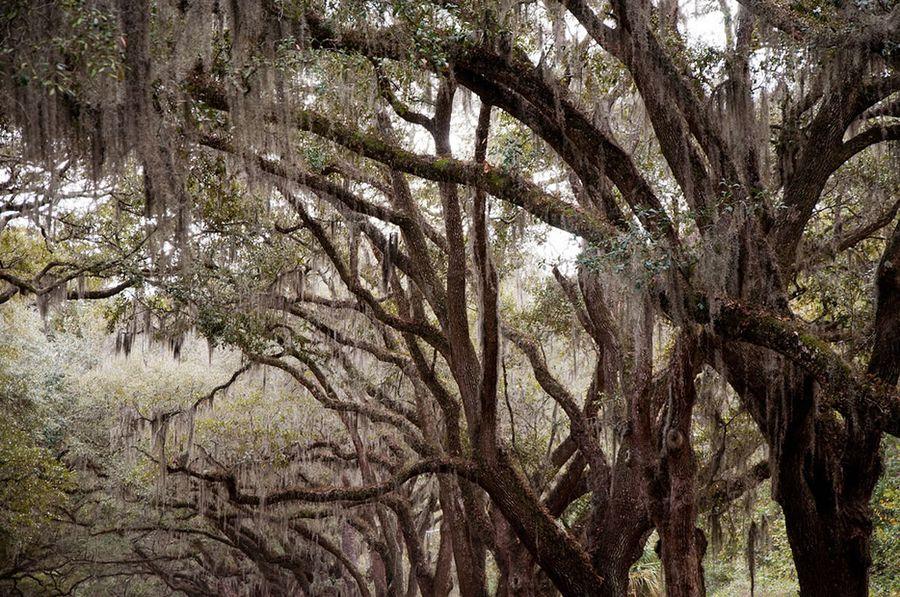 Тилландсия уснеевидная (лат. Tillandsia usneoides)